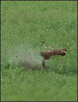 Exploding Prairie Dog Videos